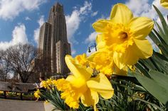 In this photo taken with a fisheye lens Daffodils frame the Cathedral of Learning on the University of Pittsburgh campus on a 75-degree day Monday, March 19, 2012 in Pittsburgh. (AP Photo/Gene J. Puskar)