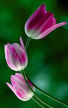 Pink tulips | Beautiful Tulips | Pinterest | Pink Tulips, Tulip and Pink