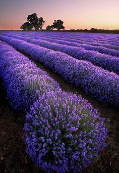 lavendel wirkung gewächse feld #LavenderFields