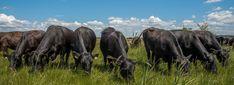 Bio-Landgut Esterhazy: Bio Fleisch vom Angus Rind Angus Rind, Cow, Animals, Free Range, Animales, Animaux, Animal, Animais