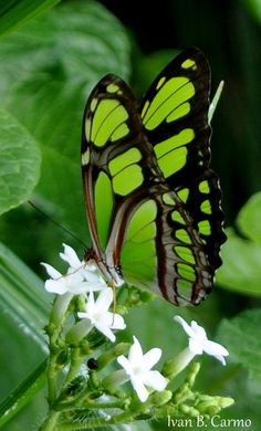 Looks like a Malachite butterfly. Rare in South Florida green butterfly? Papillon Butterfly, Butterfly Kisses, Butterfly Wings, Green Butterfly, Butterfly Flowers, White Flowers, Butterfly Family, Butterfly Pictures, Flowers Nature