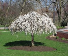Flowering Trees & Small Ornamental Trees Perfect for Your Area Weeping Mulberry Tree, Weeping Cherry Tree, Dwarf Weeping Trees, Small Weeping Trees, Dwarf Cherry Tree, Small Ornamental Trees, Small Trees, Garden Shrubs, Garden Trees