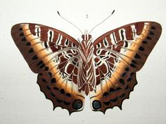 Drury C1780 Hand Col Butterfly Print. Camulus 3-30