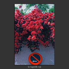 Meridiana claridad: La buganvilla roja