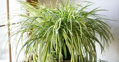 Indoor air pollution is a big concern and the air you breathe isn't always as clean as you think it is. Calathea, Garden Plants, Indoor Plants, Plantas Indoor, Chlorophytum, Mildew Remover, Purifier, Spider Plants, Office Plants