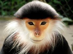 """The Red-shanked Douc is a species of Old World monkey, among the most colourful of all primates. This attractive monkey is sometimes called the """"costumed ape"""" for its extravagant appearance. From its knees to its ankles it sports maroon-red """"stockings"""", and it appears to wear white forearm length gloves"""