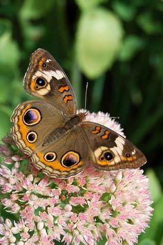 flowersgardenlove:    Buckeye Butterfly Flowers Garden Love