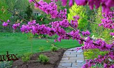 Cercis reniformis 'Oklahoma'  This variety of redbud is similar to Cercis canadensis, Eastern Redbud. But it's a western form, and as an ad...
