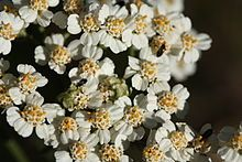 Achillea millefolium -- Yarrow. Antibacterial, pain relieving. Great herb for wounds. Regulates blood flow, so that it stops excessive bleeding while also preventing blood from pooling. Can be used to prevent and treat colds and flu. Diaphoretic. Digestive stimulant.