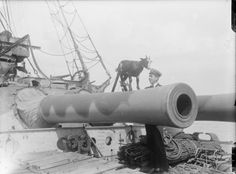 MINISTRY INFORMATION FIRST WORLD WAR OFFICIAL COLLECTION (Q 13813) A pet goat - the mascot of H. M. S. Canopus, brought back with the ship from the Falkland Isles.