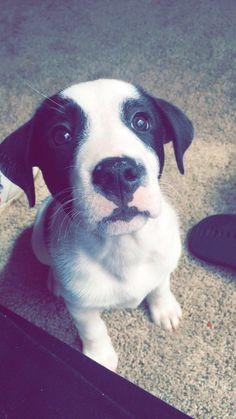 Meet Apollo our new Blue Heeler/Pitbull puppy http://ift.tt/2DO9RRf cute puppies cats animals