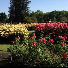 San Jose Municipal Rose Garden in full bloom. If you live in northern California it is a must this time of year.