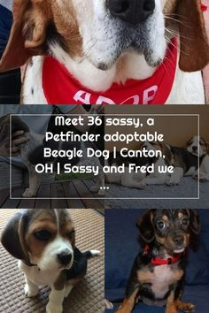 Meet 36 sassy, a Petfinder adoptable Beagle Dog | Canton, OH | Sassy and Fred were surrendered by their owners on 3/13. Both dogs were kept outside. Sassy is... Adoptable Beagle, Beagle Dog, Sassy, Father, Meet, Dogs, Animals, Pai, Animales