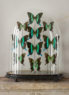 Green & Black butterfly dome in Decorative from Alex Macarthur