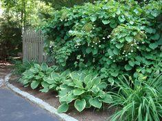 Blue Heron landscape Design | Garden Worthy Plants – Climbing Hydrangea!