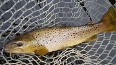 Big Farmington brown