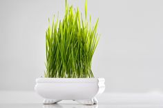 young sprouts of wheat grass in white plate