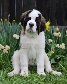Really Big Dogs, I Love Dogs, Cute Dogs, Chien Saint Bernard, St Bernard Puppy, Baby Puppies, Dogs And Puppies, Doggies, Cute Baby Animals