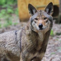 Photo: Binghamton Zoo - Ross Park is home to 3 red wolves that live on 2 1/2 acres of lovely habitat.
