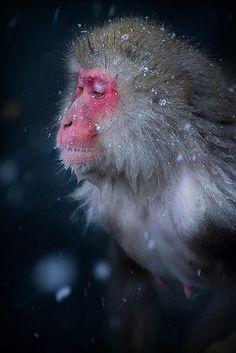 snow monkey (by Nachosan) Primates, Mammals, Monkey Pictures, Wild Animals Pictures, Animal Pictures, Beautiful Creatures, Animals Beautiful, Cute Animals, Japanese Monkey