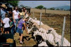 Activities – Surfing Goat Dairy