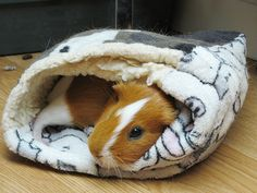 chilling guinea pig
