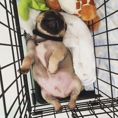 Dog Breeds 19 Baby Pugs So Ridiculously Cute That You'll Die From Love Cute Dog Photos, Funny Dog Pictures, Animal Pictures, Cute Pugs, Cute Puppies, Baby Pug Dog, Baby Animals, Cute Animals, Black Pug Puppies