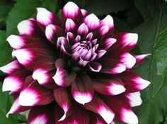 Growing dahlias info from Farmers Almanac. The FA is the best resources for info on plants, flowers and gardens of all types.