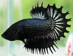 Betta+Fish+Black