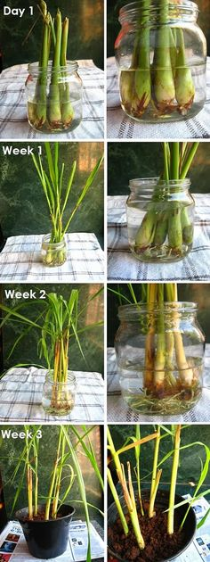Grow your own lemongrass. I'm going to try this because mosquitoes hate lemongrass and I hate mosquitoes.