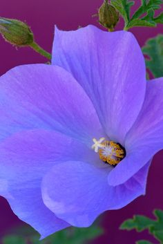 A close-up view of the Blue Hibiscus [Alogyne huegelii] in the Center for Desert Living Trail.