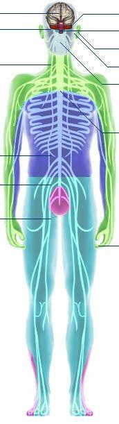 BBC - Science & Nature - Human Body and Mind - Anatomy - Nervous anatomy