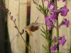 Hummingbird Hawkmoth - 09.06.2014