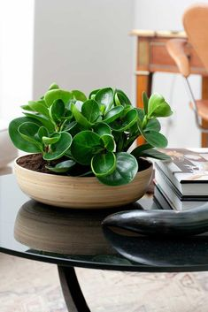 Green Peperomia Houseplant In Modern Pot : Peperomia Houseplants For Your Indoor Rooms Inside Plants, Cool Plants, Best Plants, Best Indoor Plants, Outdoor Plants, Garden Plants, Coffee Table Plants, Coffee Tables, Coffee Table Flowers