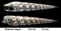 painted auger shell (2in) - hawaii