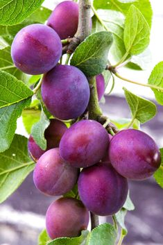 The Methley plum tree is a favorite pollinator. This plum tree has excellent quality and is great to plant for fresh eating or jelly making. Plum Fruit, Fruit And Veg, Fruits And Vegetables, Fresh Fruit, Fruit Plants, Fruit Garden, Fruit Trees, Trees To Plant, Vegetables Photography