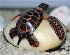 Turtle Tagua Nut Carving from Panama.  http://www.worldtravelart.com/Turtle_Tagua_Nut_Carving_from_Panama_p/01511-tn-3.htm