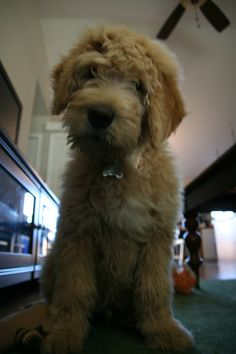 love that face - our goldendoodle