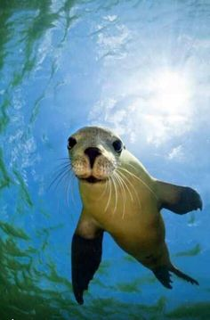Hello there! New love=sea liions #seals #sealions #manatee #sealife #oceanlife #mammals