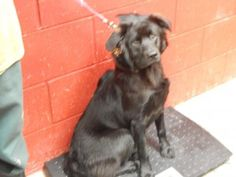Travis - URGENT - PIKE COUNTY ANIMAL SHELTER in Pikeville, Kentucky - ADOPT OR FOSTER - Young Neutered Male Shepherd Mix
