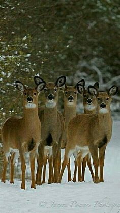 Deer - Five does in a row. - by James Powers Photography