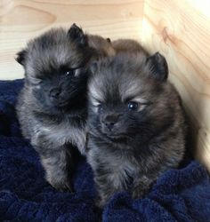 miniature pomeranian puppies for sale | Sale Dogs Pomeranian miniature KC Reg Tiny Tea Cup Pomeranian Puppies ...