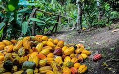 Kakaofrüchte auf St. Lucia © Julia Schafhauser