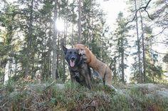 Un zorro y un perro salvaje