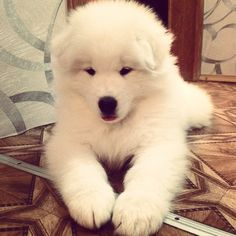 North - my cute puppy)))) #North #puppy #samoyed #white #самоед #fluffy