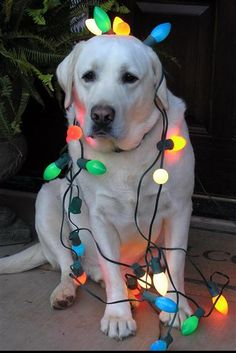 I shall do this to my Shelby-Dog this Christmas...the lights would look so cute against her black hair. <3