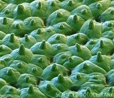 Lotus leaf surface