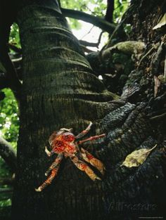Coconut Crabs are the Largest Land Crustaceans. Some of them live unmolested on Palmyra Atoll