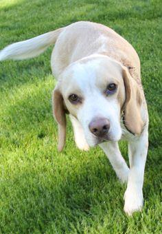 Beagle - bicolor