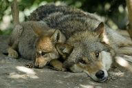 Mom wolf with pup